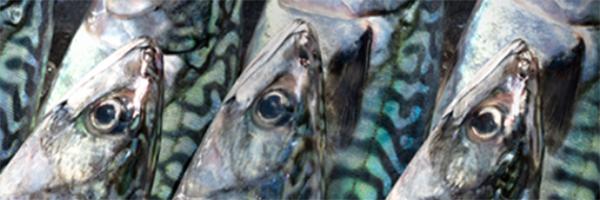 Sæby Fiskeindustri sender medarbejdere hjem