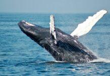 Bizar video: Mand slugt af hval og spyttet ud