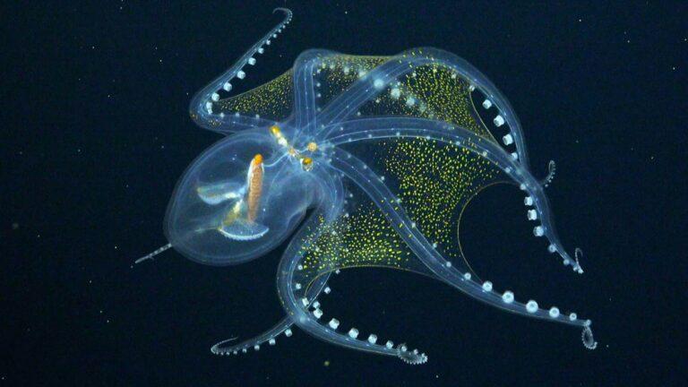 """Sjælden """"Glass Octopus"""" fundet i havet"""