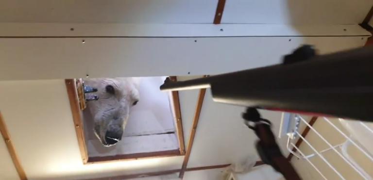 Stak hovedet ind i kabyssen – Isbjørn gik ombord på skib