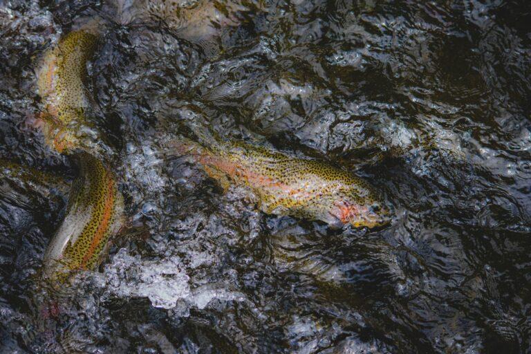 Ikke igen! Nyt dambrug er ramt af smitsom fiskesygdommen